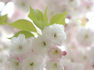 【桜の花言葉】知ってさらに趣き深いお花見に_07