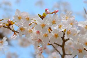 【桜の花言葉】知ってさらに趣き深いお花見に_04