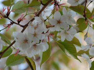 【桜の花言葉】知ってさらに趣き深いお花見に_06