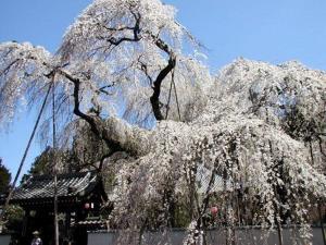 【桜の花言葉】知ってさらに趣き深いお花見に_05