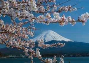 【桜の花言葉】知ってさらに趣き深いお花見に_03
