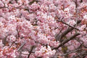【桜の花言葉】知ってさらに趣き深いお花見に_08