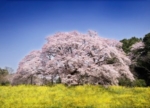 【桜の花言葉】知ってさらに趣き深いお花見に_02