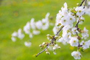 marvelous-flowering-cherry-1366109_640