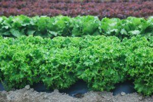 レタス 栽培
