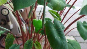 里芋 赤い茎