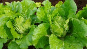 白菜 カビ 保存方法